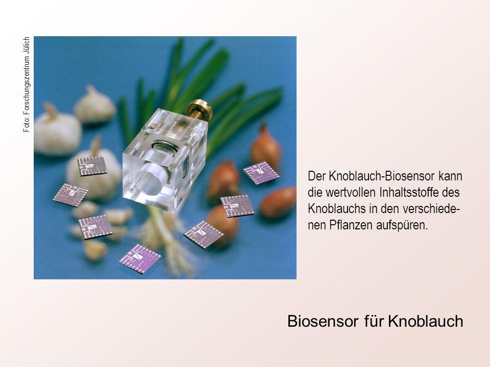Der Knoblauch-Biosensor kann die wertvollen Inhaltsstoffe des Knoblauchs in den verschiede- nen Pflanzen aufspüren. Foto: Forschungszentrum Jülich Bio