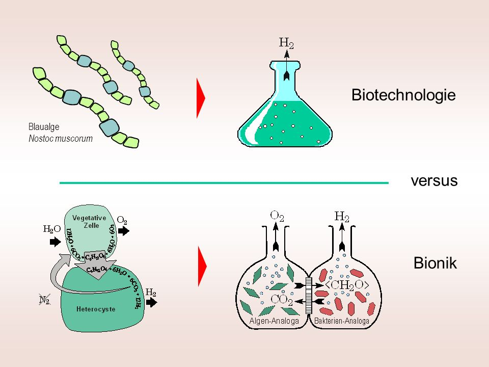Biotechnologie Bionik versus Blaualge Nostoc muscorum
