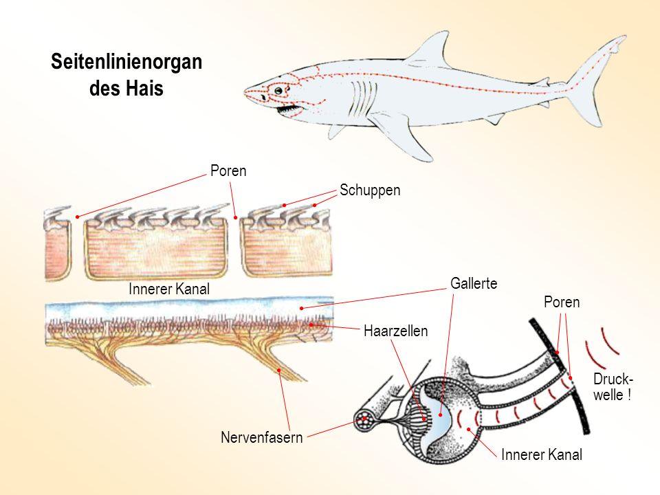 Seitenlinienorgan des Hais Haarzellen Nervenfasern Innerer Kanal Poren Schuppen Gallerte Druck- welle !
