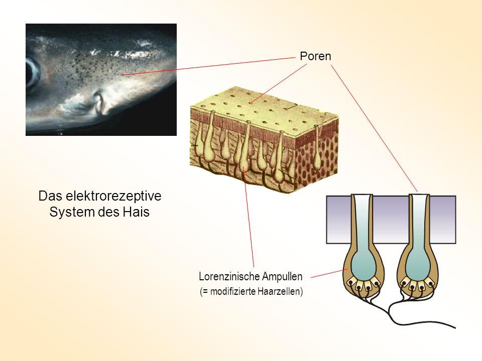 Poren Lorenzinische Ampullen Das elektrorezeptive System des Hais (= modifizierte Haarzellen)