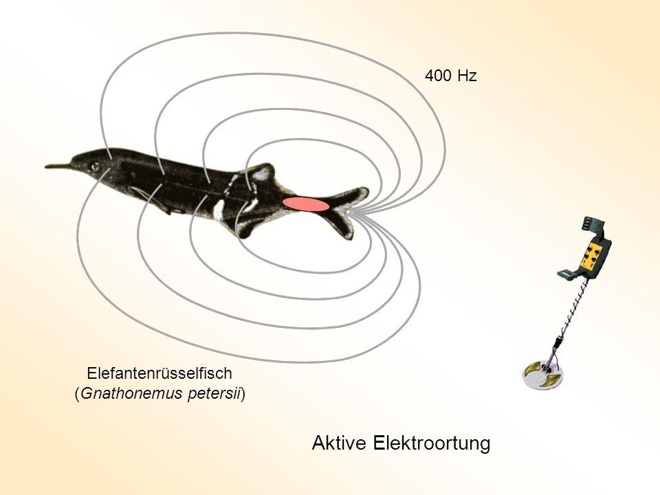 Aktive Elektroortung 400 Hz Elefantenrüsselfisch (Gnathonemus petersii)