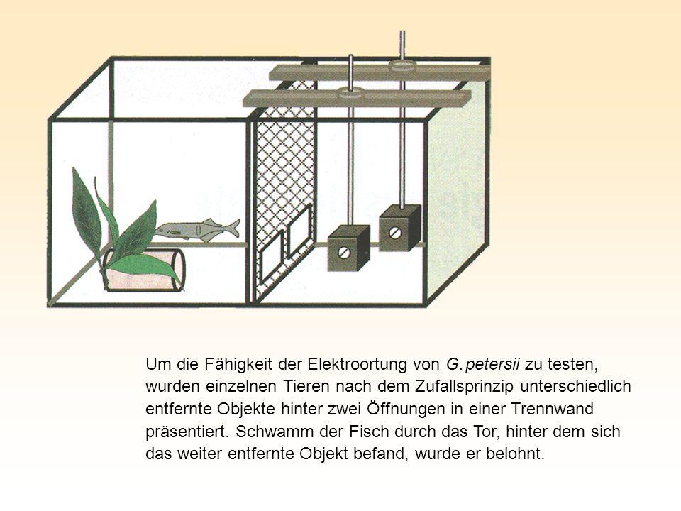 Um die Fähigkeit der Elektroortung von G. petersii zu testen, wurden einzelnen Tieren nach dem Zufallsprinzip unterschiedlich entfernte Objekte hinter
