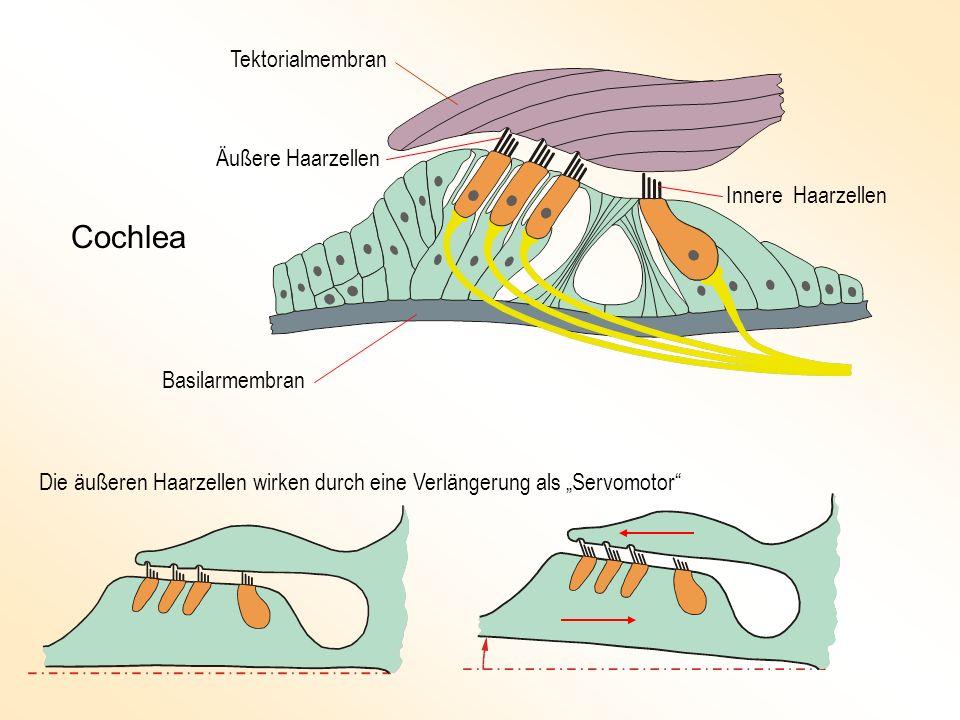 Tektorialmembran Basilarmembran Äußere Haarzellen Innere Haarzellen Die äußeren Haarzellen wirken durch eine Verlängerung als Servomotor Cochlea