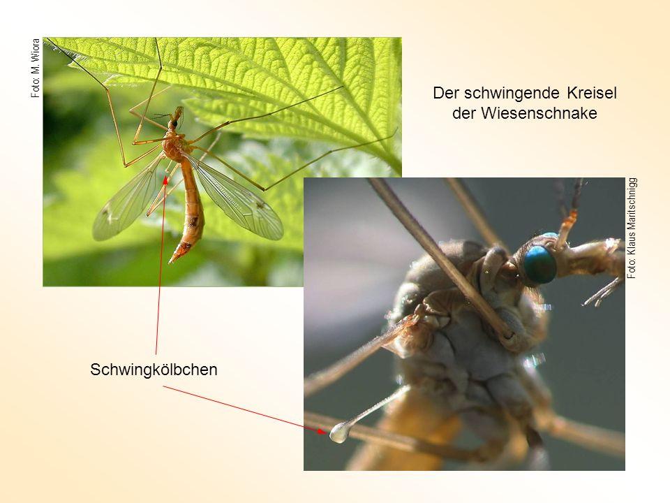 Foto: M. Wiora Foto: Klaus Maritschnigg Schwingkölbchen Der schwingende Kreisel der Wiesenschnake
