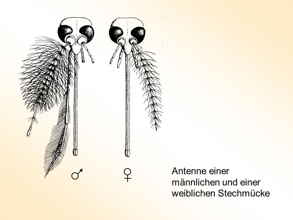 Lagerung der Antennenschäfte im Johnstonschen Organ