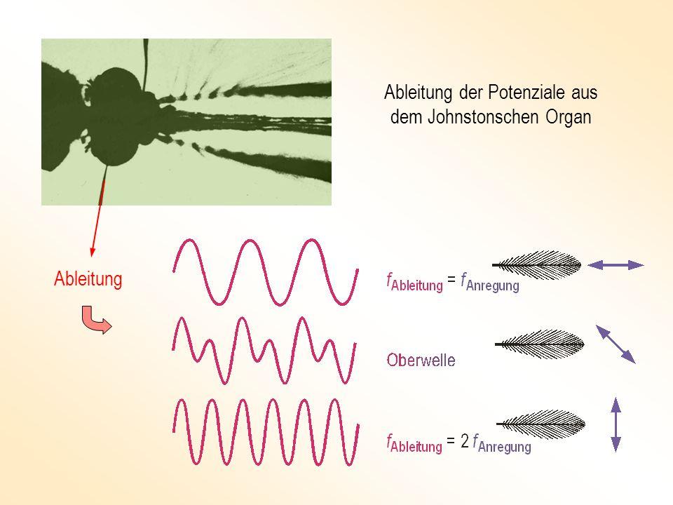 Haar Antennenbasis Pedicellus Sinneszelle äußerer Skolopidienring Basalplatte innerer Skolopidienring basale Skolopidien Nervenkomplex Scapus Das J OHNSTON -Organ an der Basis einer Fliegenantenne