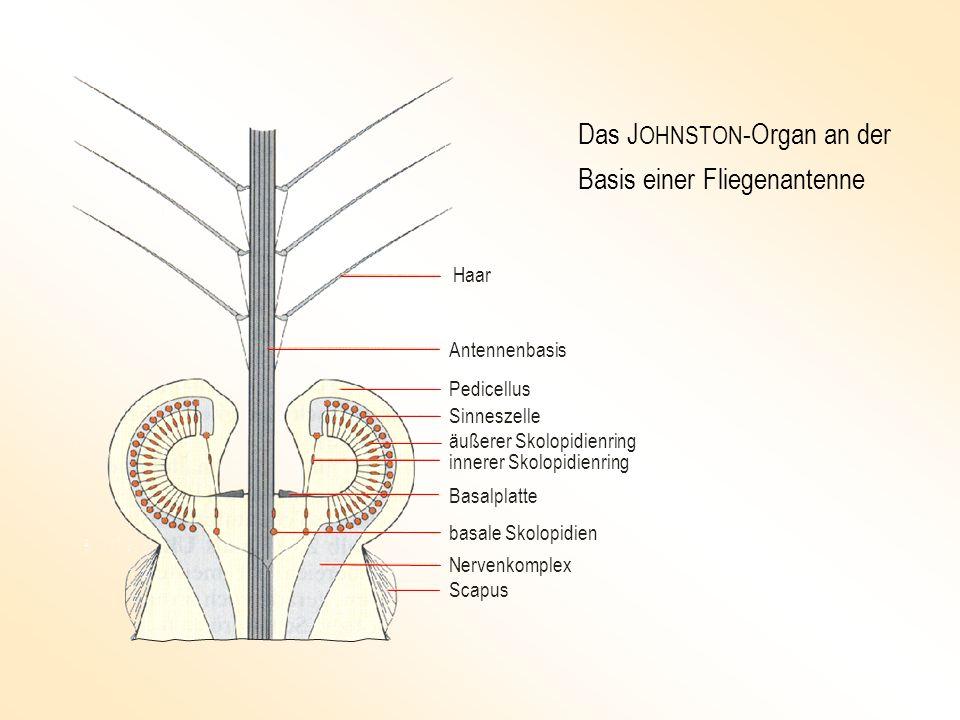Ergebnis: Die Mücke besitzt ein Schallschnelle-Vektormessgerät.