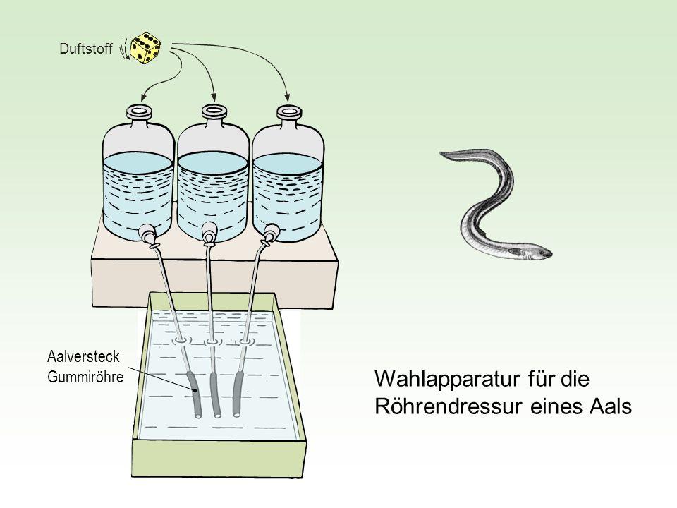 Wahlapparatur für die Röhrendressur eines Aals Aalversteck Gummiröhre