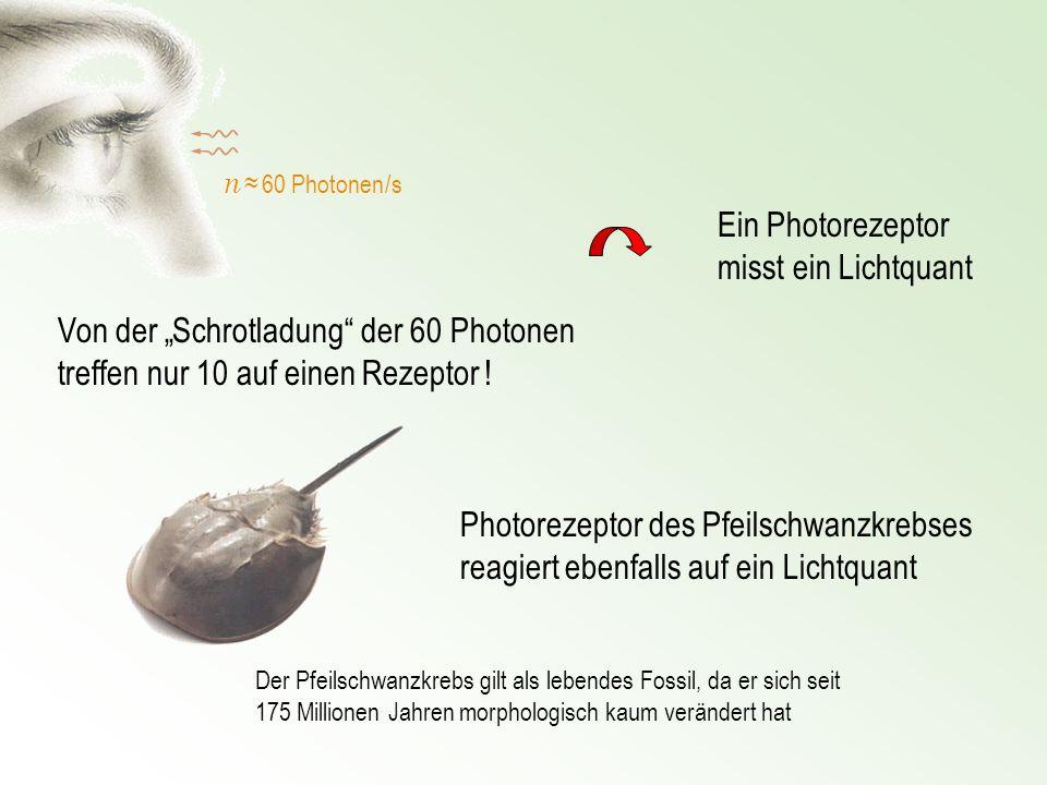 n 60 Photonen /s Von der Schrotladung der 60 Photonen treffen nur 10 auf einen Rezeptor ! Photorezeptor des Pfeilschwanzkrebses reagiert ebenfalls auf