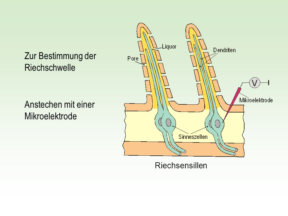 Riechsensillen Zur Bestimmung der Riechschwelle Anstechen mit einer Mikroelektrode