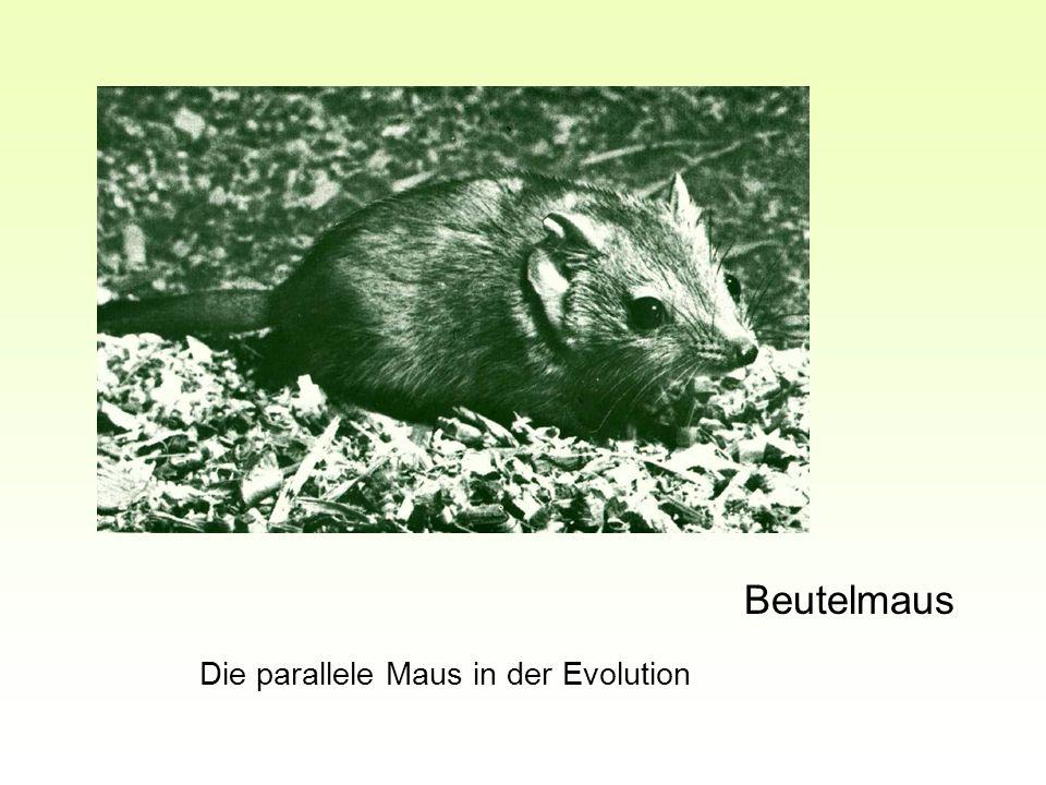 Beutelmaus Die parallele Maus in der Evolution