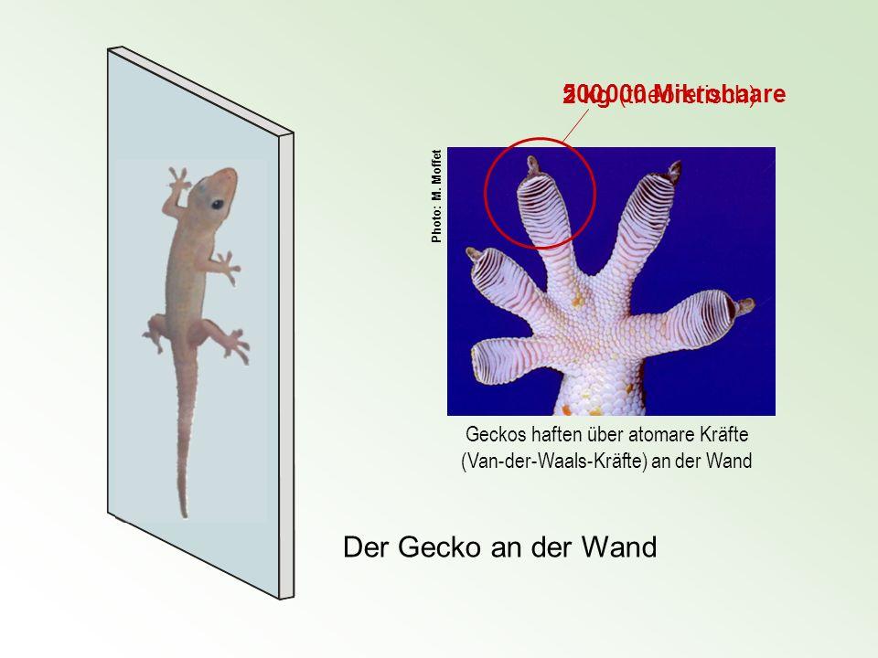 Geckos haften über atomare Kräfte (Van-der-Waals-Kräfte) an der Wand Der Gecko an der Wand 500 000 Mikrohaare 2 kg (theoretisch) Photo: M. Moffet