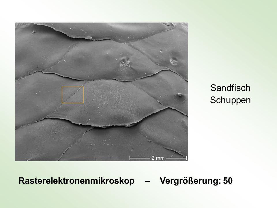 Rasterelektronenmikroskop – Vergrößerung: 50 Sandfisch Schuppen