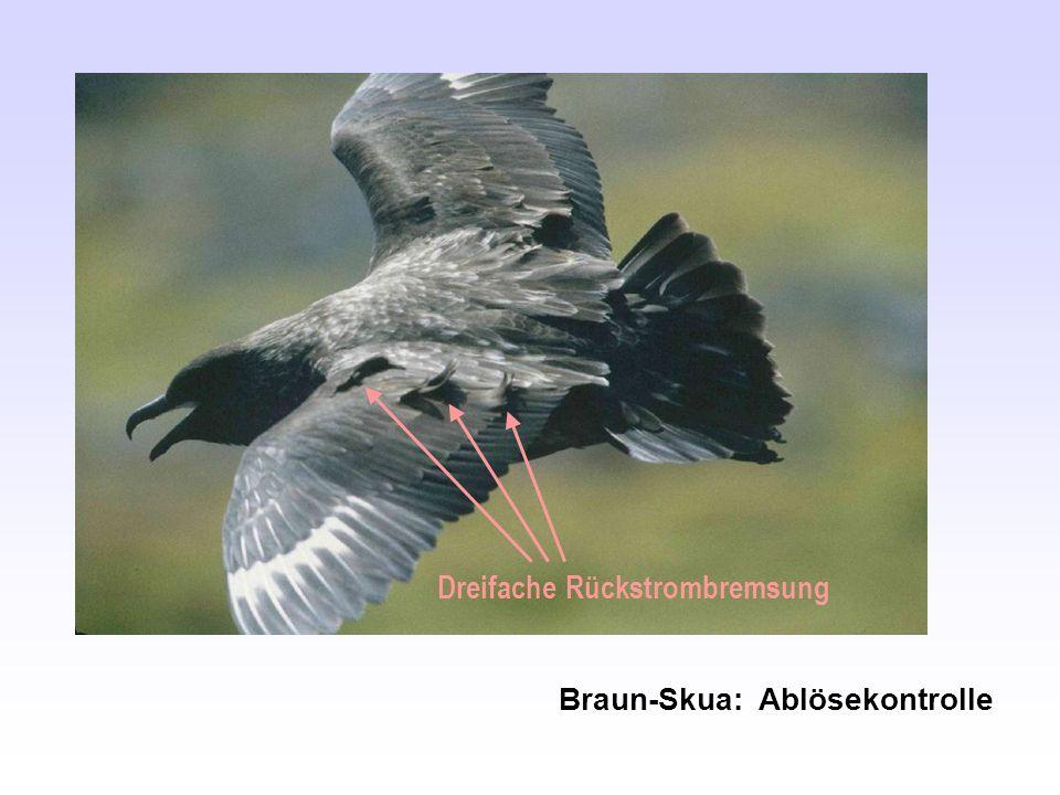 Dreifache Rückstrombremsung Braun-Skua: Ablösekontrolle