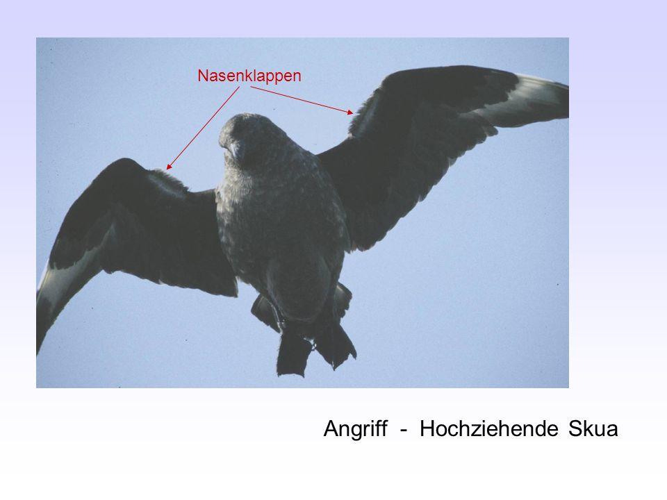Angriff - Hochziehende Skua Nasenklappen