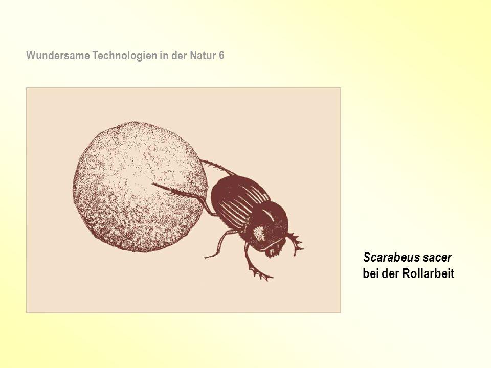 Scarabeus sacer bei der Rollarbeit Wundersame Technologien in der Natur 6