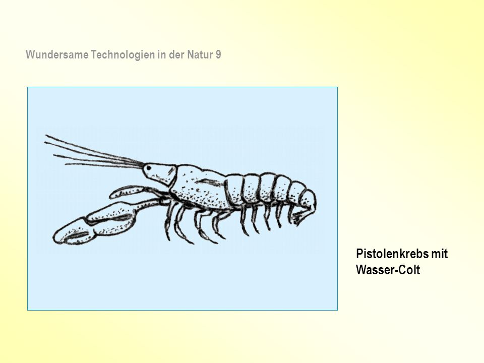 Pistolenkrebs mit Wasser-Colt Wundersame Technologien in der Natur 9