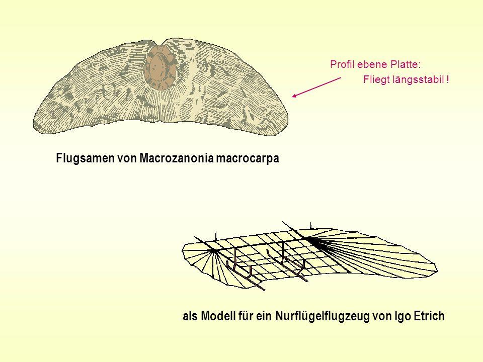 Flugsamen von Macrozanonia macrocarpa als Modell für ein Nurflügelflugzeug von Igo Etrich Profil ebene Platte: Fliegt längsstabil !