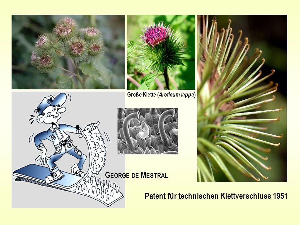 G EORGE DE M ESTRAL Patent für technischen Klettverschluss 1951 Große Klette ( Arcticum lappa )