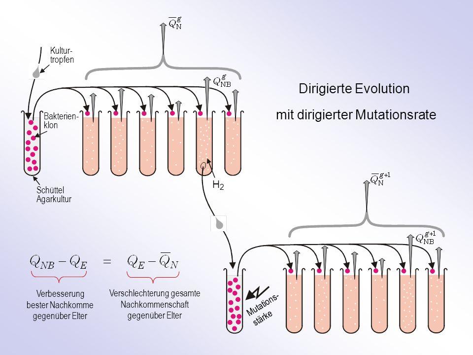 Kultur- tropfen Bakterien- klon Schüttel Agarkultur H2H2 Dirigierte Evolution mit dirigierter Mutationsrate Mutations- stärke Verbesserung bester Nachkomme gegenüber Elter Verschlechterung gesamte Nachkommenschaft gegenüber Elter