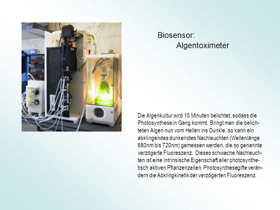 Die Algenkultur wird 15 Minuten belichtet, sodass die Photosynthese in Gang kommt.