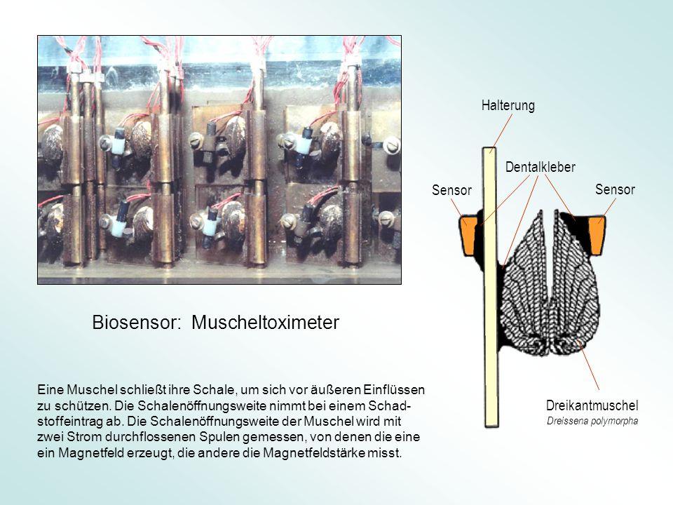 Dentalkleber Halterung Sensor Dreikantmuschel Dreissena polymorpha Eine Muschel schließt ihre Schale, um sich vor äußeren Einflüssen zu schützen.