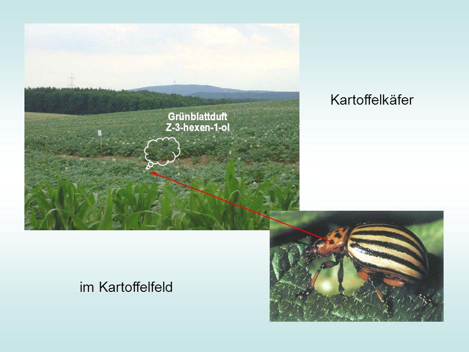 Grünblattduft Z-3-hexen-1-ol im Kartoffelfeld Kartoffelkäfer