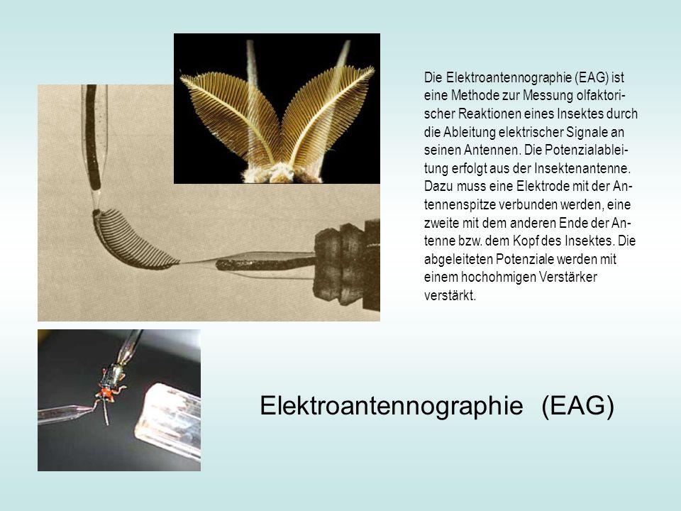 Die Elektroantennographie (EAG) ist eine Methode zur Messung olfaktori- scher Reaktionen eines Insektes durch die Ableitung elektrischer Signale an seinen Antennen.