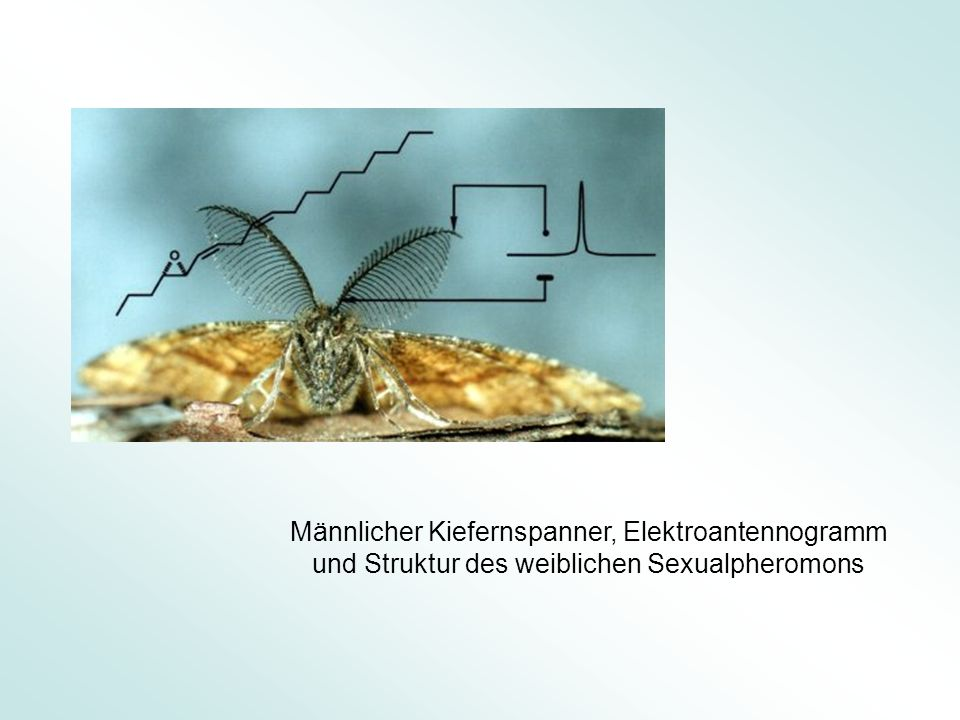 Männlicher Kiefernspanner, Elektroantennogramm und Struktur des weiblichen Sexualpheromons