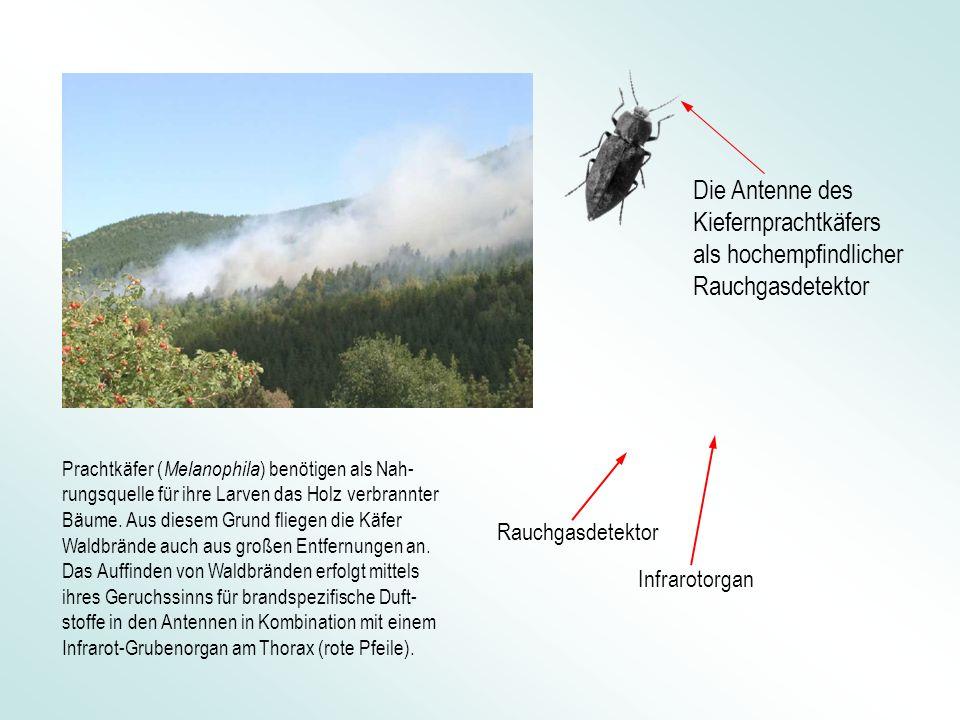 Die Antenne des Kiefernprachtkäfers als hochempfindlicher Rauchgasdetektor Infrarotorgan Rauchgasdetektor Prachtkäfer ( Melanophila ) benötigen als Nah- rungsquelle für ihre Larven das Holz verbrannter Bäume.