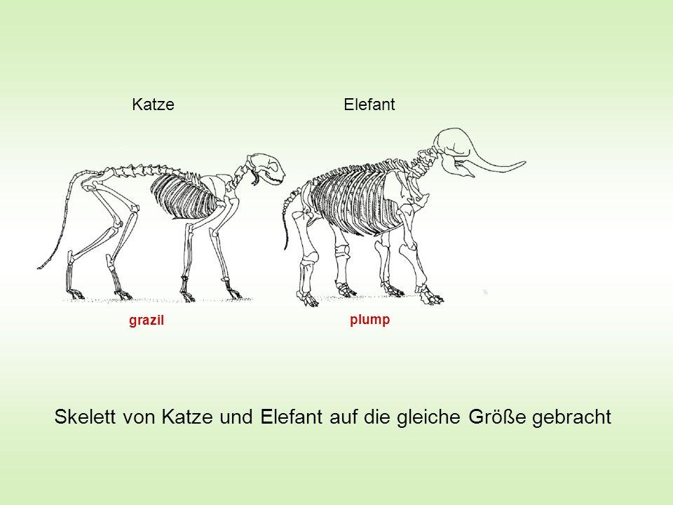 Katze Elefant Skelett von Katze und Elefant auf die gleiche Größe gebracht plump grazil