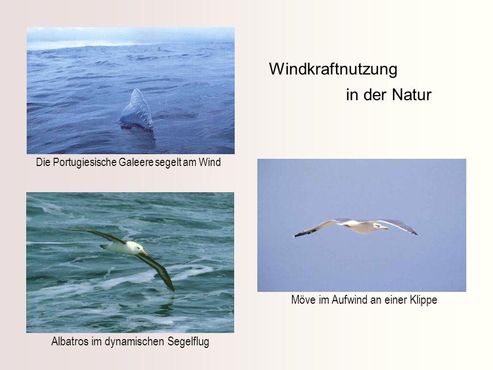 Windkraftnutzung in der Natur Möve im Aufwind an einer Klippe Albatros im dynamischen Segelflug Die Portugiesische Galeere segelt am Wind