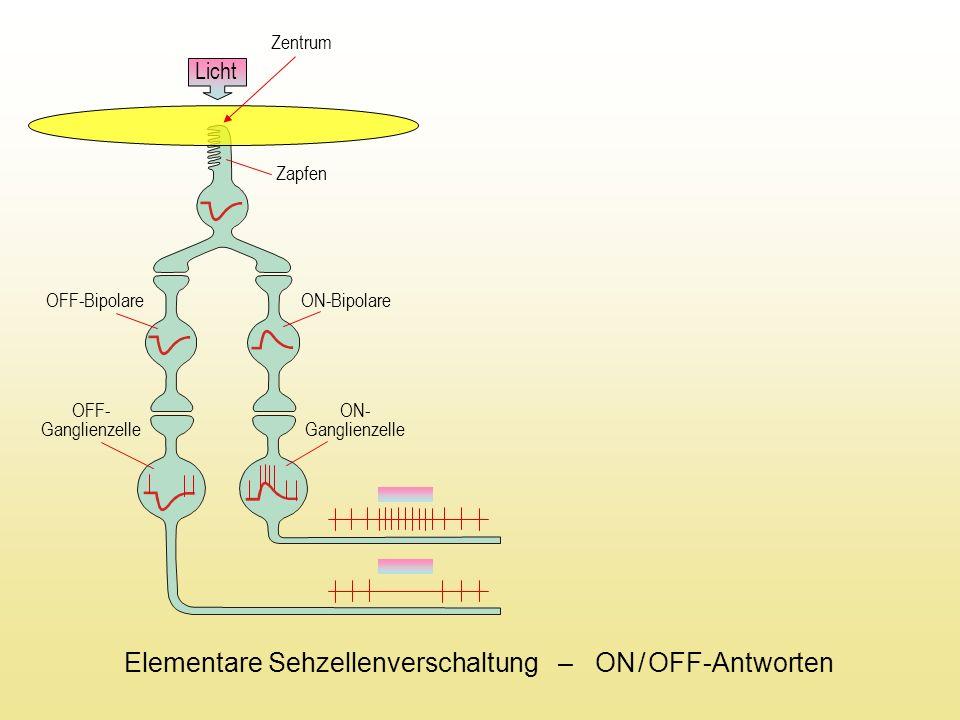 Zentrum OFF-Bipolare ON-Bipolare OFF- Ganglienzelle ON- Ganglienzelle Zapfen Licht Elementare Sehzellenverschaltung – ON / OFF-Antworten