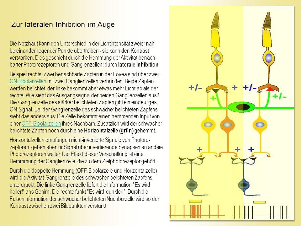 Die Netzhaut kann den Unterschied in der Lichtintensität zweier nah beieinander liegender Punkte übertreiben - sie kann den Kontrast verstärken.