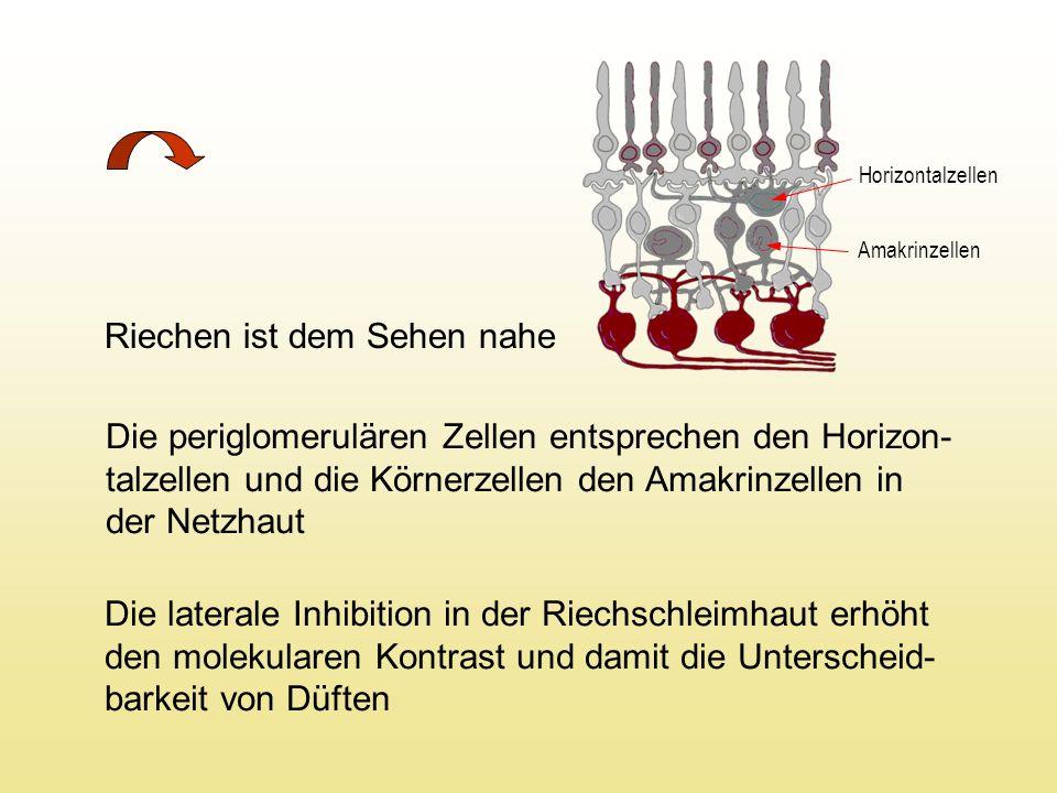 Riechen ist dem Sehen nahe Die periglomerulären Zellen entsprechen den Horizon- talzellen und die Körnerzellen den Amakrinzellen in der Netzhaut Die laterale Inhibition in der Riechschleimhaut erhöht den molekularen Kontrast und damit die Unterscheid- barkeit von Düften Horizontalzellen Amakrinzellen