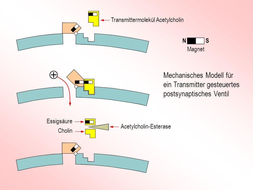 Mechanisches Modell für ein Transmitter gesteuertes postsynaptisches Ventil Transmittermolekül Acetylcholin Cholin Essigsäure Acetylcholin-Esterase Ma