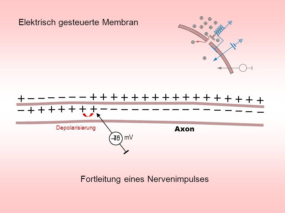 Fortleitung eines Nervenimpulses - 70 mV - 45 Axon Elektrisch gesteuerte Membran Depolarisierung