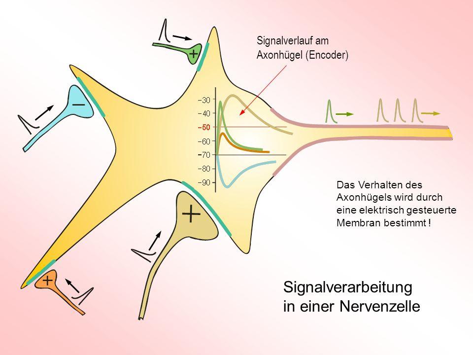Signalverarbeitung in einer Nervenzelle Signalverlauf am Axonhügel (Encoder) Das Verhalten des Axonhügels wird durch eine elektrisch gesteuerte Membra