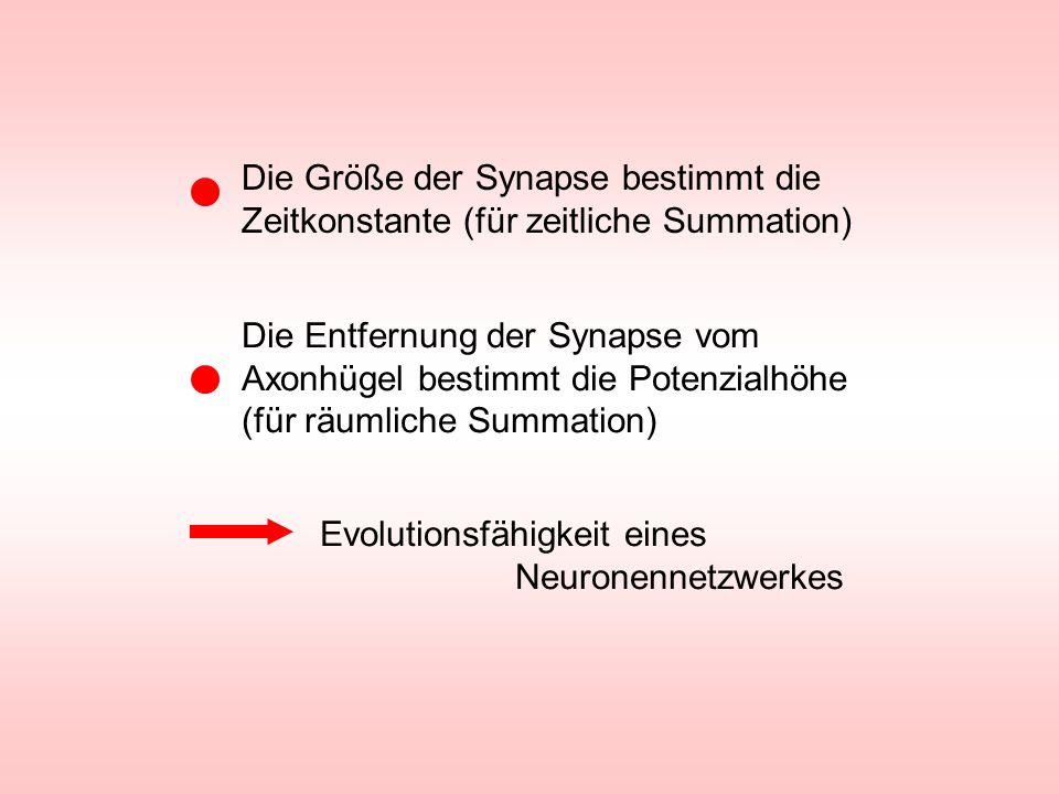 Die Größe der Synapse bestimmt die Zeitkonstante (für zeitliche Summation) Die Entfernung der Synapse vom Axonhügel bestimmt die Potenzialhöhe (für rä