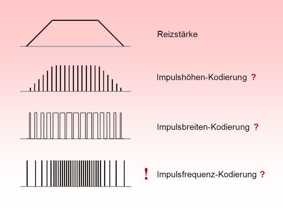 Reizstärke Impulshöhen-Kodierung ? Impulsbreiten-Kodierung ? Impulsfrequenz-Kodierung ! ?
