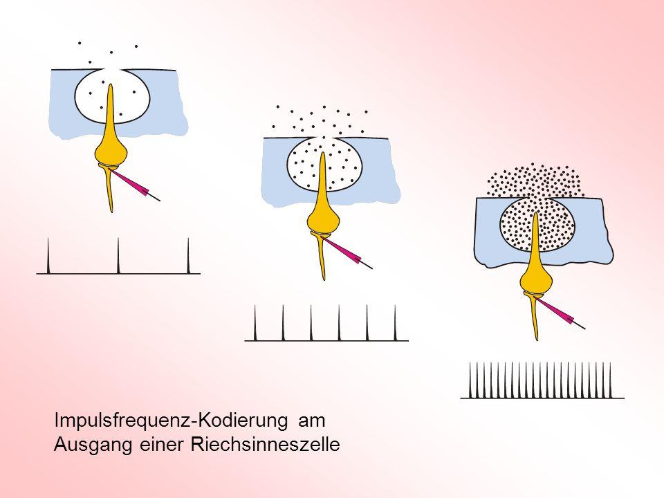 = Refraktärzeit T R T R Mögliche Rechenoperation mit einem Neuron Impulsvervielfachung - 50mV - 70mV fefe fafa n f e fafa.