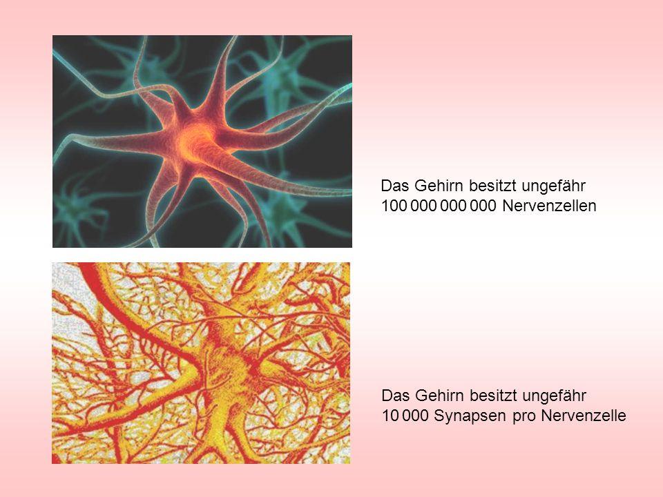 Das Gehirn besitzt ungefähr 10 000 Synapsen pro Nervenzelle Das Gehirn besitzt ungefähr 100 000 000 000 Nervenzellen