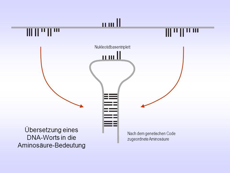 Ser Übersetzung eines DNA-Worts in die Aminosäure-Bedeutung Nukleotidbasentriplett Nach dem genetischen Code zugeordnete Aminosäure