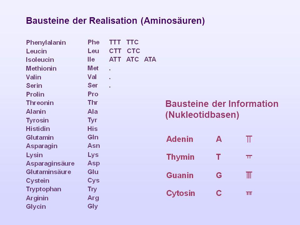 Bausteine der Realisation (Aminosäuren) Bausteine der Information (Nukleotidbasen)