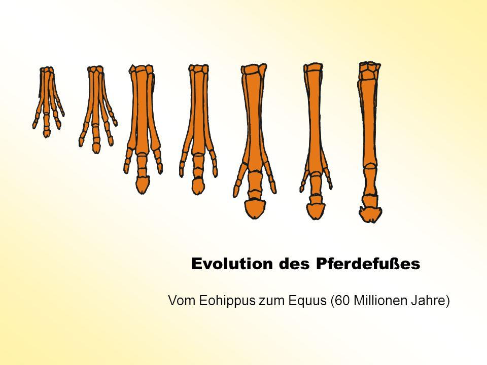 Evolution des Pferdefußes Vom Eohippus zum Equus (60 Millionen Jahre)