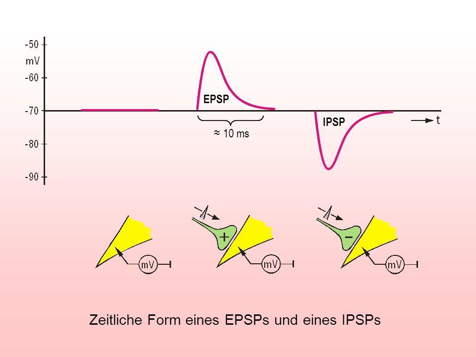 EPSP IPSP 10 ms Zeitliche Form eines EPSPs und eines IPSPs
