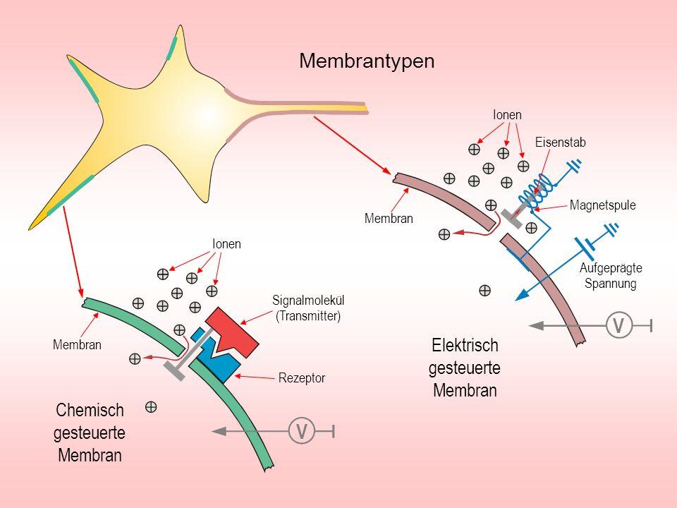 Membran Signalmolekül (Transmitter) Rezeptor V Ionen Chemisch gesteuerte Membran Membran Magnetspule Aufgeprägte Spannung Eisenstab V Elektrisch geste