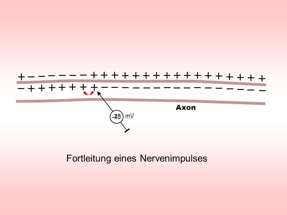 Fortleitung eines Nervenimpulses - 70 mV - 45 Axon