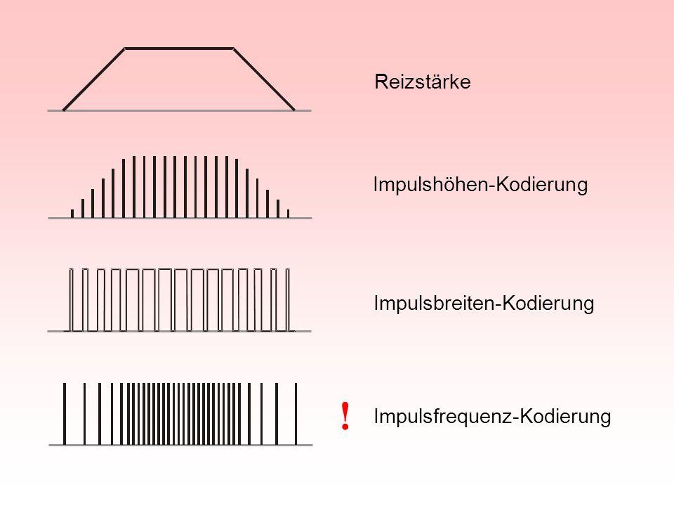 Reizstärke Impulshöhen-Kodierung Impulsbreiten-Kodierung Impulsfrequenz-Kodierung !