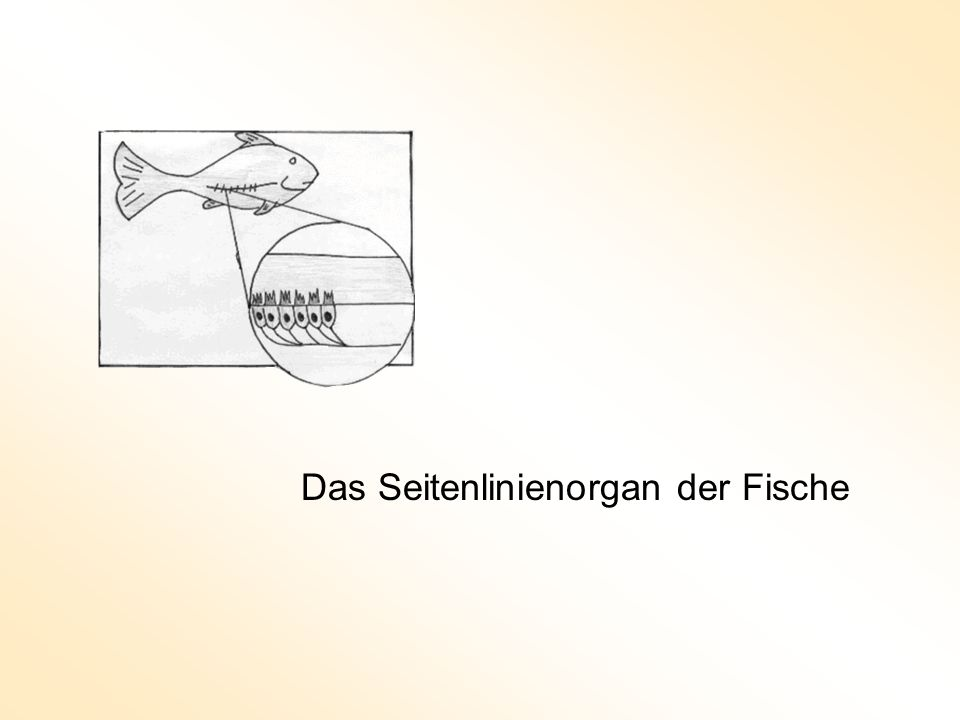 Das Seitenlinienorgan der Fische